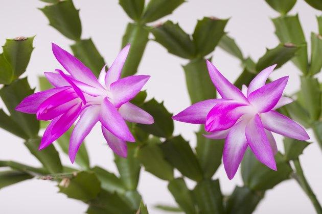 Pink christmas Zygocactus (syn. Schlumberga) flower