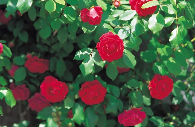 Cultivated red roses in bloom outdoors