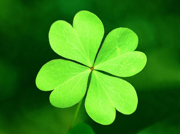 Photo, four leaf clover, Color, Low res