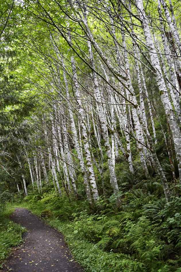 Birch forest with ferns