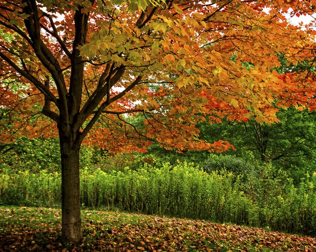 Autumn Red MapleTree