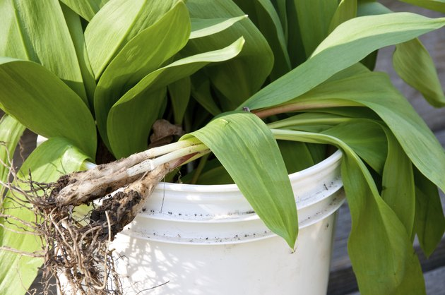 Harvest bucket filled with wild onions or ramps