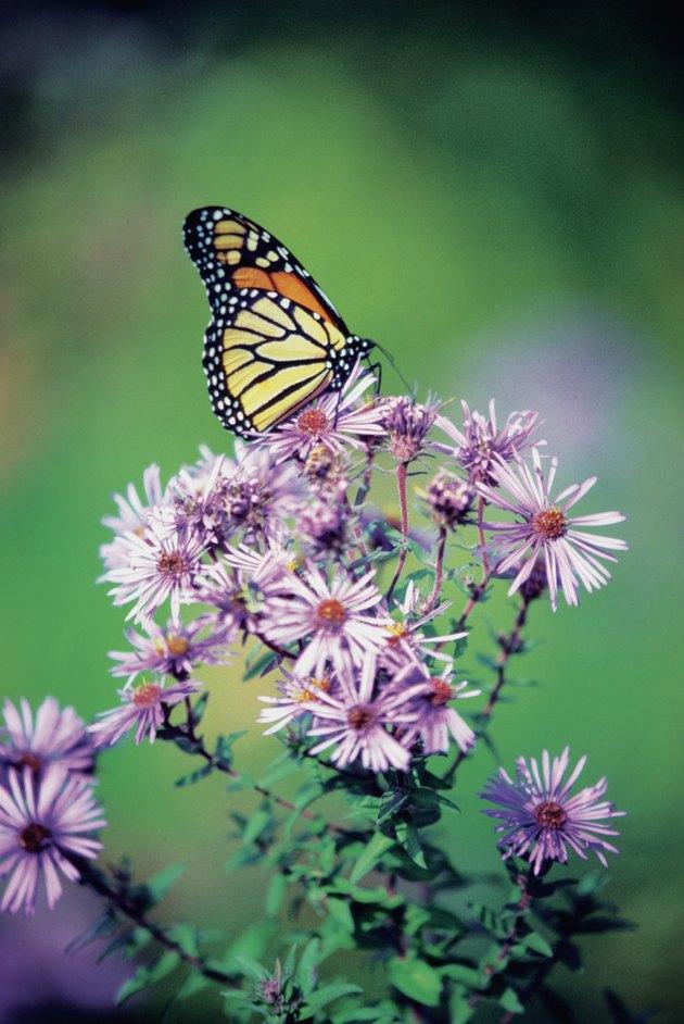 Close-up of a Monarch Butterfly (Danaus plexippus ) on a perennial aster