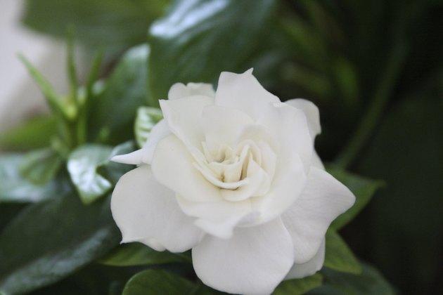 The Gardenia Planet
