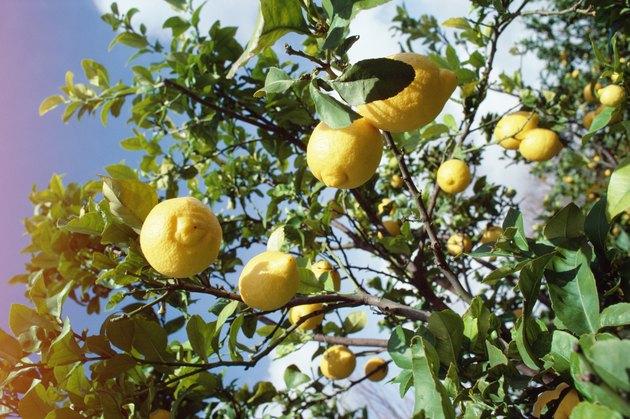 Lemon tree in Portugal