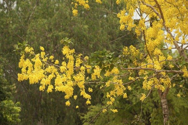 Golden Shower Tree.