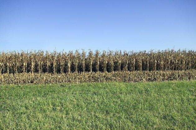 Corn field and green grass