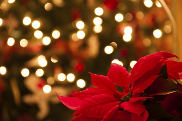 Christmas Decoration with Poinsettia Flowers