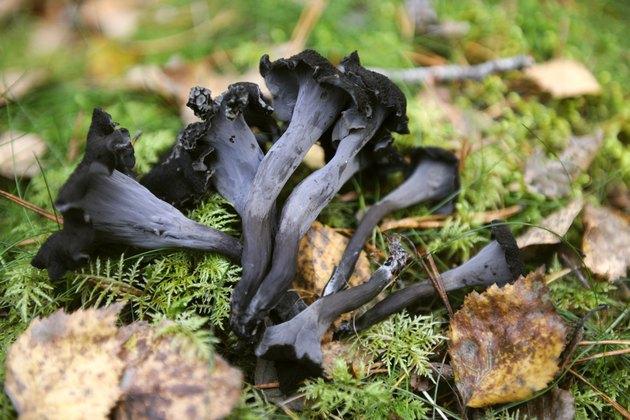 Craterellus cornucopioides, Black trumpet