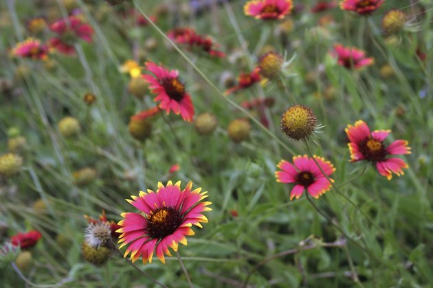 Indian Blanket (Gaillardia pulchella) wildflowers in a Texas field