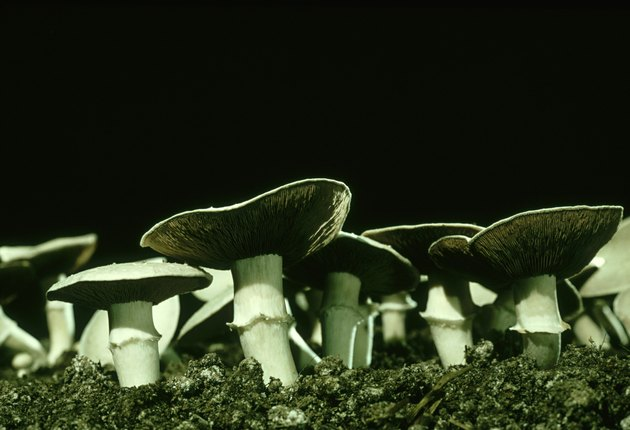 cultivated mushrooms, agaricus biporus