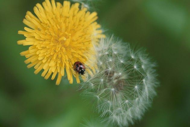 Japan, Honshu, Saitama Prefecture, Koshigaya, Ladybug pollinating Dandelion