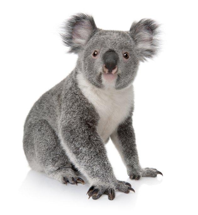 Front view of Young koala, Phascolarctos cinereus, sitting.