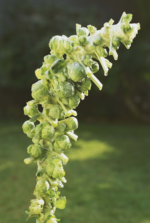 Brussels sprouts growing in garden
