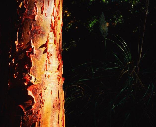 Bark of a maple tree