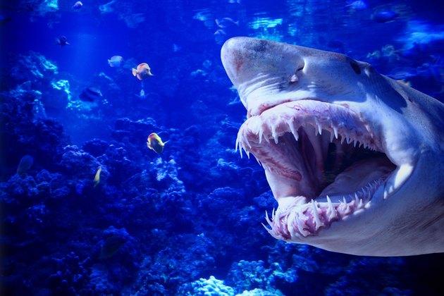 Shark baring its teeth