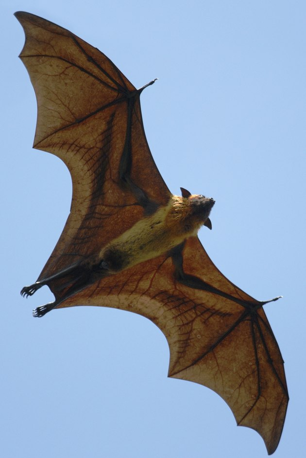 Indian Flying Fox (pteropus giganteus) in Sri Lanka