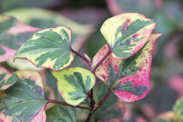 Beautiful colorful leaves of Houttuynia cordata Chameleon