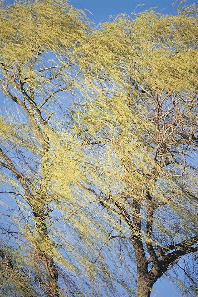 Windblown willow tree