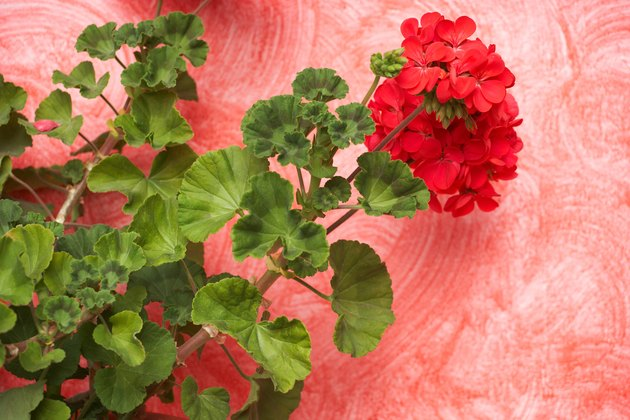 Red geranium on pink wall