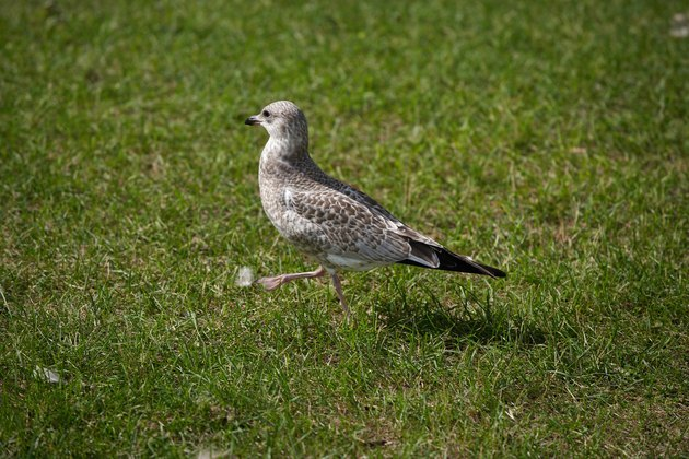 Gull walking on lawn