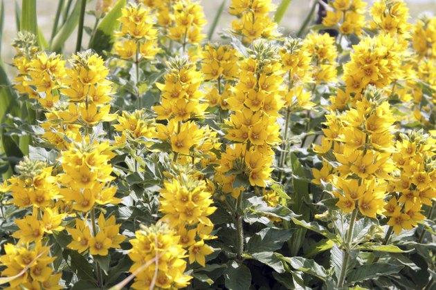 Flowering yellow loosestrife - Lysimachia punctata