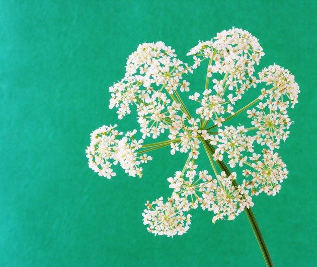 Bishop weed flower