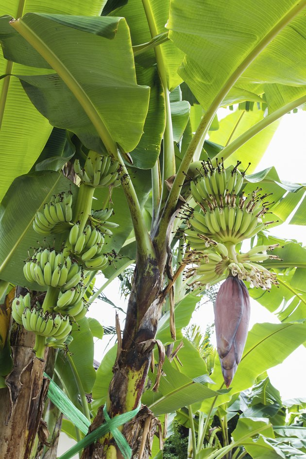 Banana tree with a blossom flower.