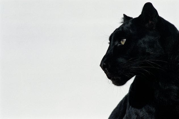 Black panther (Panthera pardus), profile