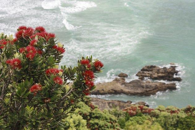 Pohutukawa flowers above ocean waves