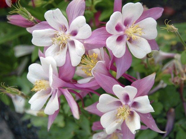 pink white Columbine Aquilegia chrysantha Flower