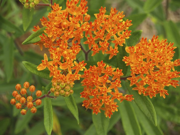 """Flowers"": Orange Milkweed or Butterfly Weed from above; North Carolina"