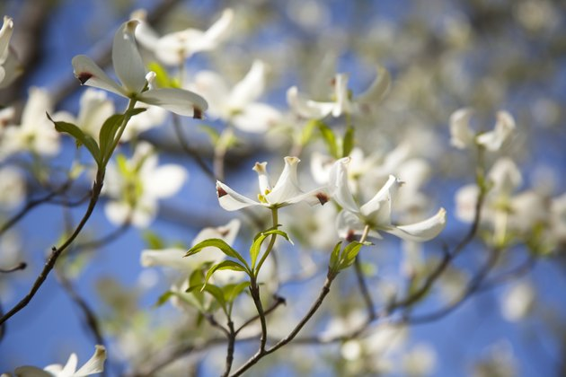 Dogwood tree blooms in East Texas