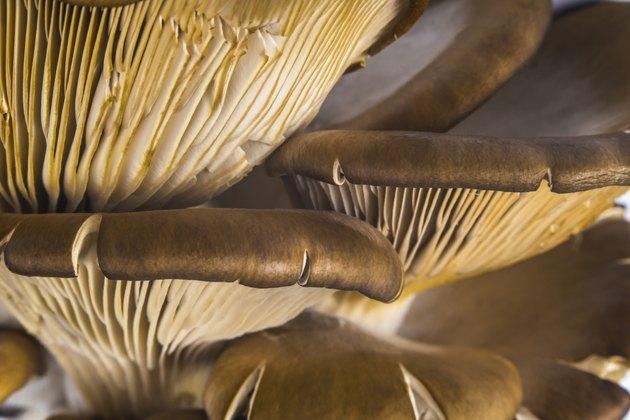 Delicious Pleurotus Agaricales Mushrooms