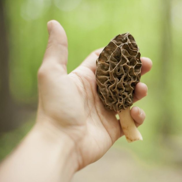 A hand holding a large morel mushroom. Shot with shallow depth of field.
