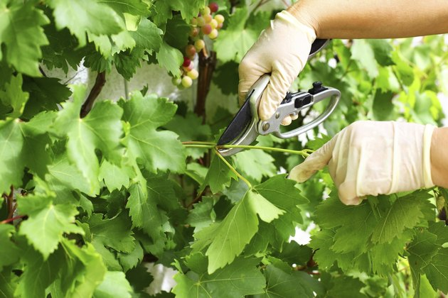 Pruning wine grapes