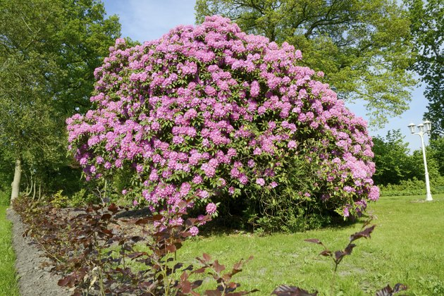 Huge Pink Rhododendron