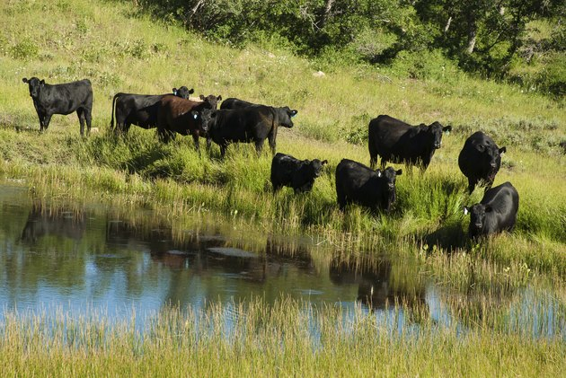 Black Angus Cattle and pond on the Kolob Plateau Utah