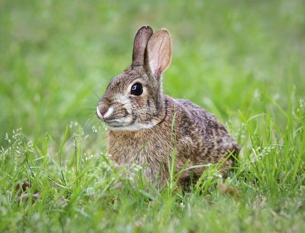 Cottontail bunny rabbit munching grass
