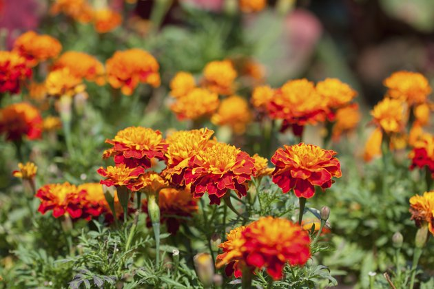 Marigold flowers background