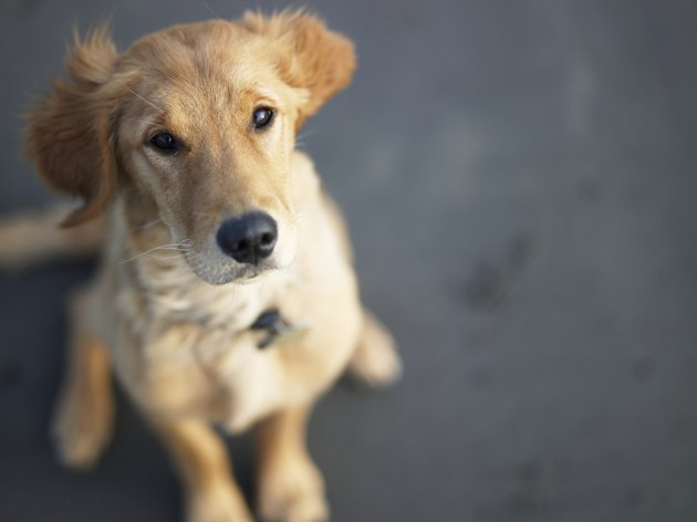 Dog looking up, close-up