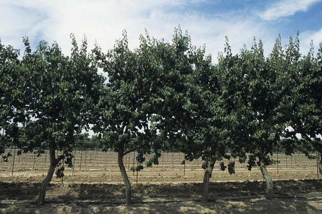 Apricot orchard, late Spring