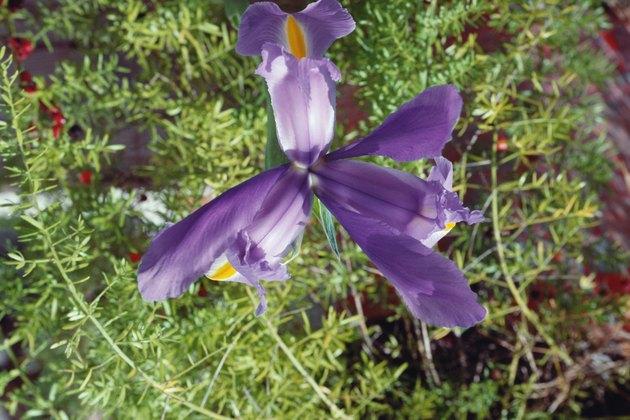 Purple iris flower outdoors