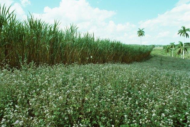 Sugar cane in field in Cuba