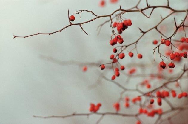 Buckthorn berries on tree in winter