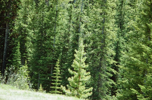 Evergreen forest in Banff National Park, Canada