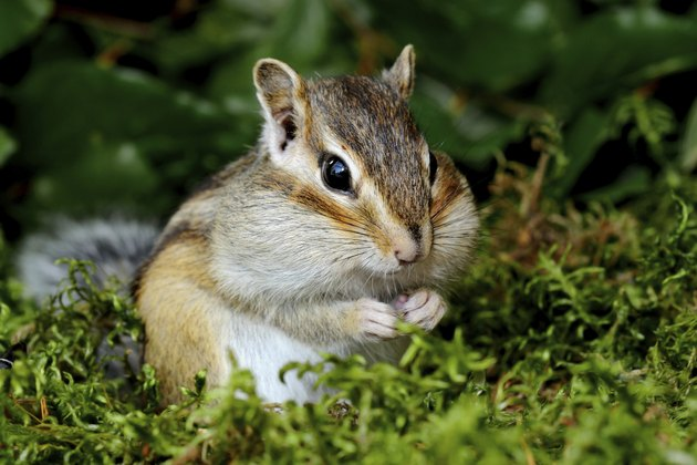 Chipmunk in forest