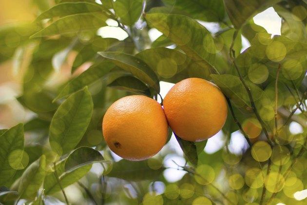 Couple of mandarines on a tree