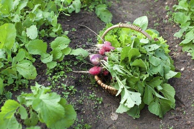 basket with fresh radishes