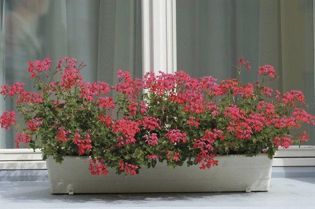 Red Ivy Geranium in a window box